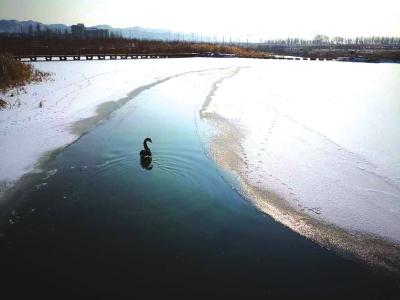 兰州新区有一只黑天鹅 是去年走丢的那只吗?