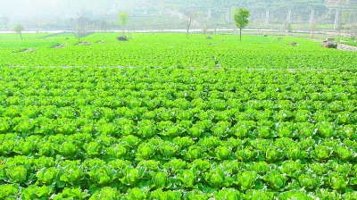 【脱贫攻坚奔小康】甘肃省蔬菜产业迈向区域化规模化产业化