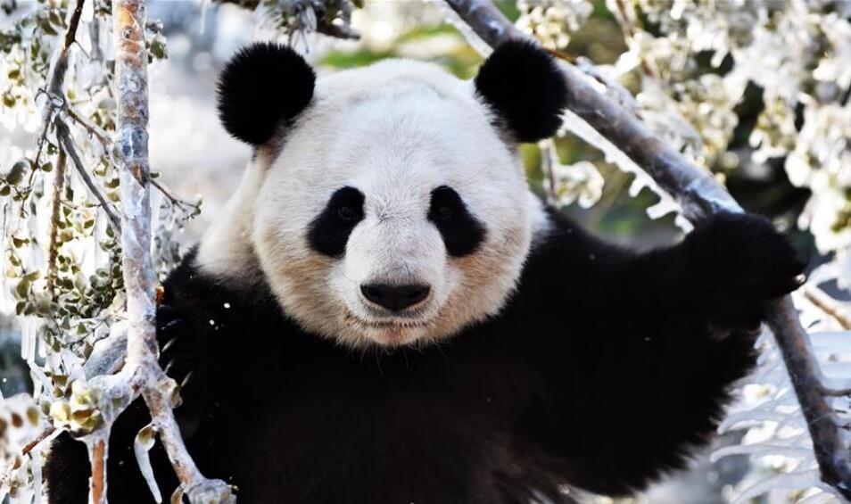 """济南:数九寒天熊猫""""撒欢"""""""