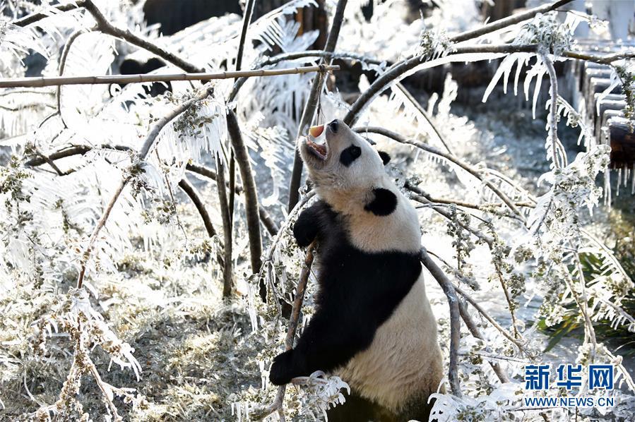 """(社会)(1)济南:数九寒天熊猫""""撒欢"""""""