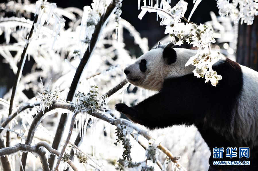 """(社会)(2)济南:数九寒天熊猫""""撒欢"""""""
