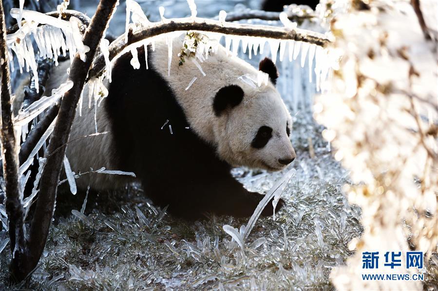 """(社会)(6)济南:数九寒天熊猫""""撒欢"""""""