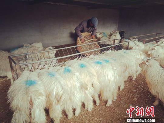 甘肃环县罗山乡龙柏山村村民徐朝锋喂养山羊,年收入近8万元。 (资料图) 钟欣 摄