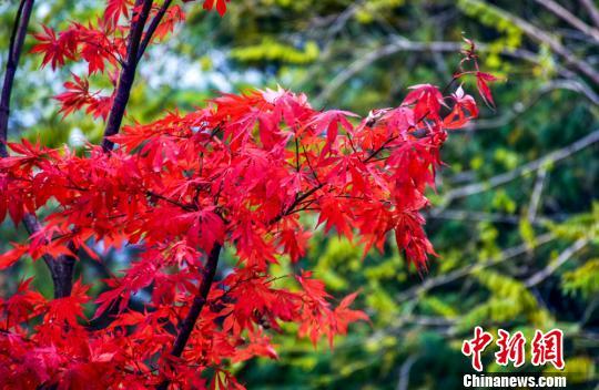 甘肃天水小陇山红叶似火满枝头