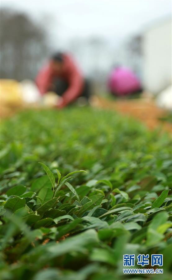 #(经济)(3)贵州福泉:茶叶育苗忙