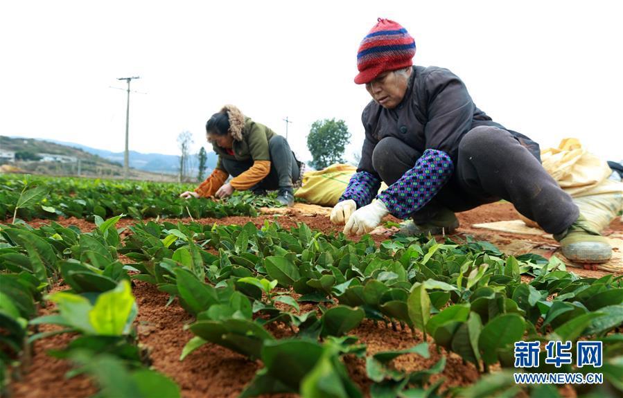 #(经济)(1)贵州福泉:茶叶育苗忙
