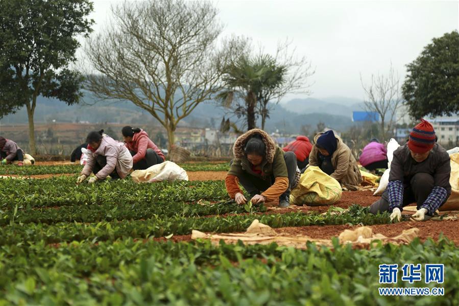 #(经济)(4)贵州福泉:茶叶育苗忙