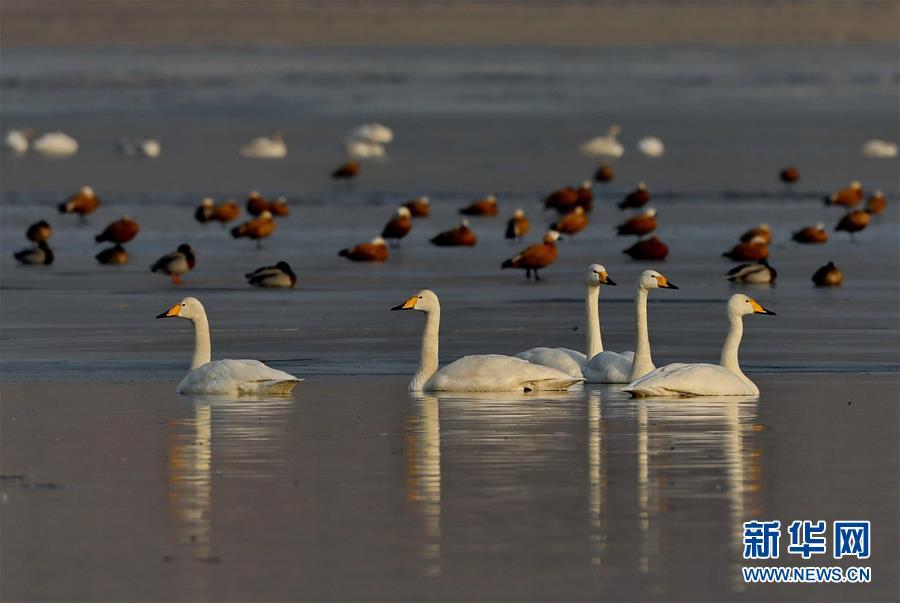 (环境)(1)河北宣化:数九寒天洋河水库天鹅舞