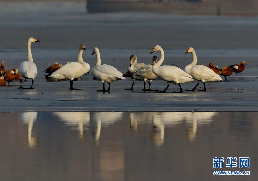 (环境)(2)河北宣化:数九寒天洋河水库天鹅舞