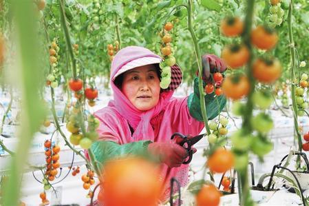 """平凉市崆峒区构建了以""""合作社+基地+农户""""为主的生产经营模式"""