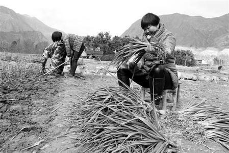 陇南市文县发展种植露地蔬菜3.6万亩 蔬菜产业总产值达2亿多促增收
