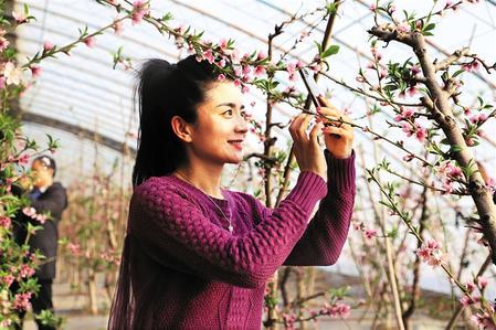张掖市甘州区:油桃花开迎新春