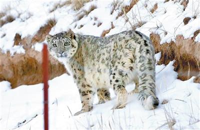 摄影师张玉林 祁连山邂逅雪豹拍下珍贵照片