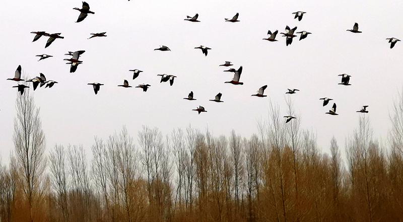 群鸟遨游 黑河河畔春意闹