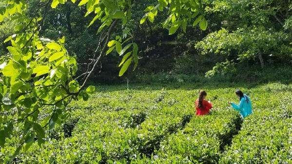 陇南文县茶产业成脱贫群众增收基础