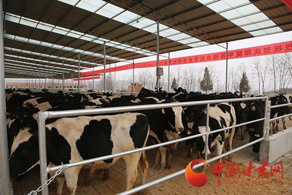 """【新春走基层】庆阳:澳大利亚新西兰奶牛""""远嫁""""宁县"""