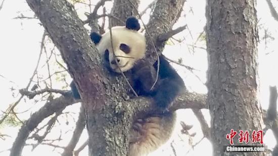 甘肃自然保护区生态趋好 野生大熊猫数量稳增