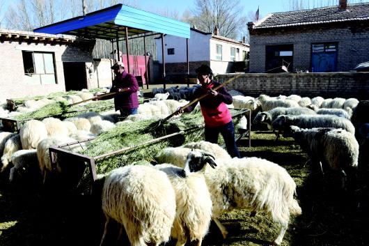 酒泉:草原春来到 牧民接羔忙