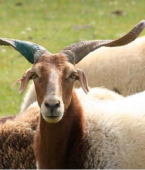 甘肃省优质种羊繁育基地在古浪挂牌