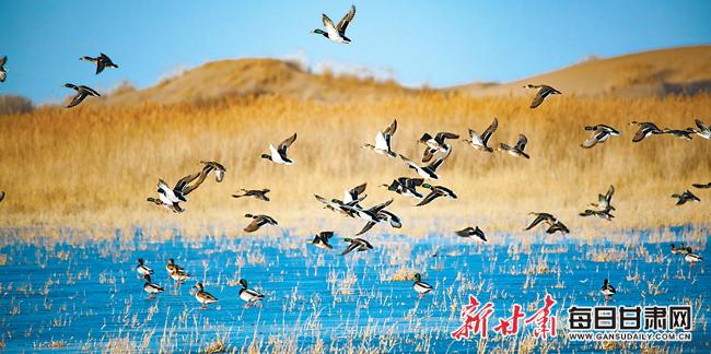 敦煌阳关国家级自然保护区渥洼池内百鸟飞翔