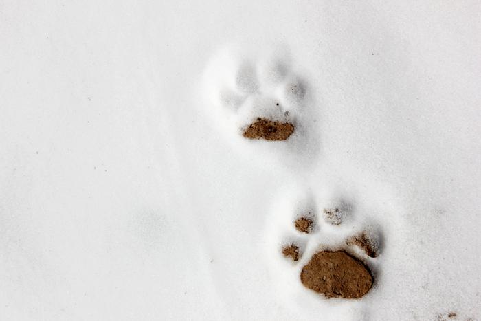 张掖山丹:雪豹出没 祁连山成野生动物乐园