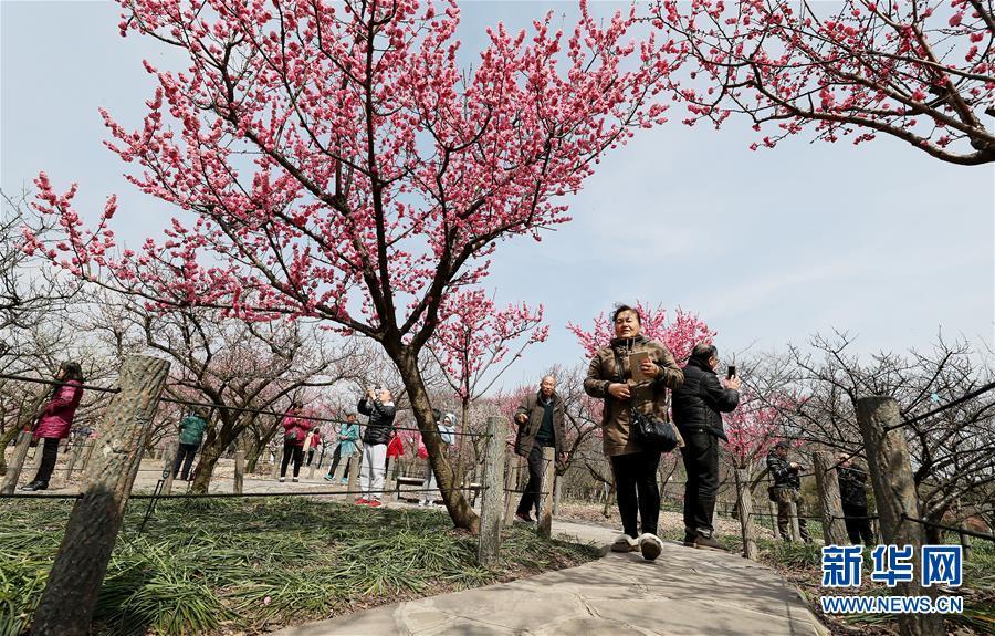 (社会)(2)上海:春梅早樱挂枝头