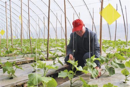 酒泉市敦煌市肃州镇戈壁农业设施特色林果示范园区农民培育蔬菜