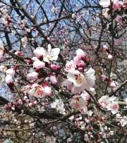 兰州:迎春花开