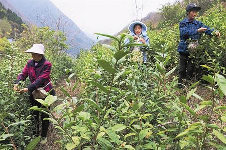 陇南市武都区枫相乡张家院茶农正在采摘清明前绿茶