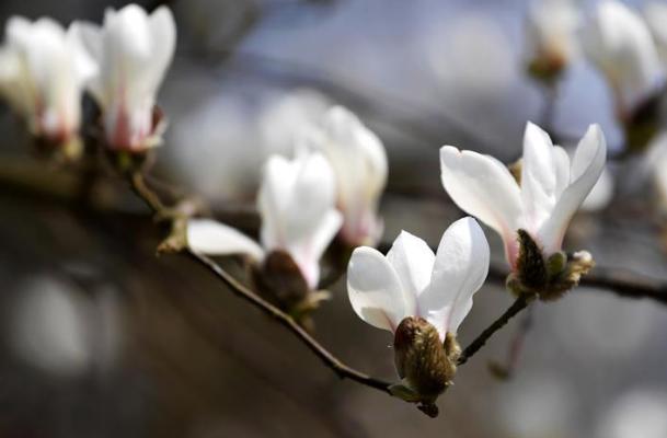 玉兰花开俏争春