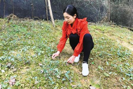 陇南市康县:阳春三月,正是中药材管护的关键时期