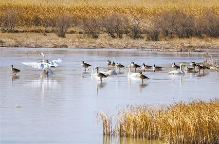 大批北迁候鸟在黑河湿地高台县罗城镇境内栖息觅食(图)