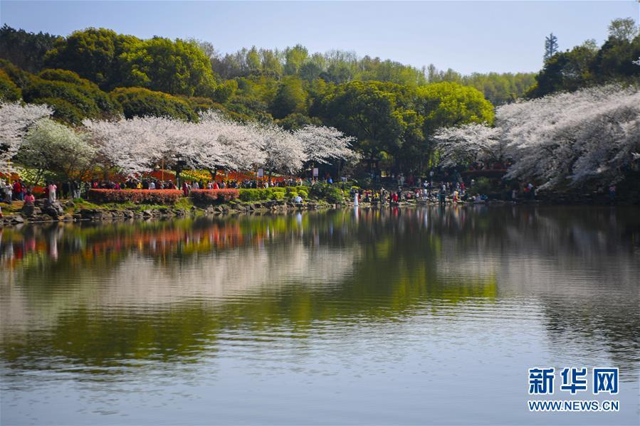 (环境)(2)春日樱满园