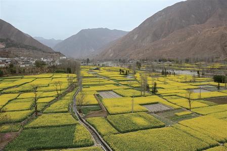 陇南文县丹堡镇丹堡河畔四千余亩油菜花开