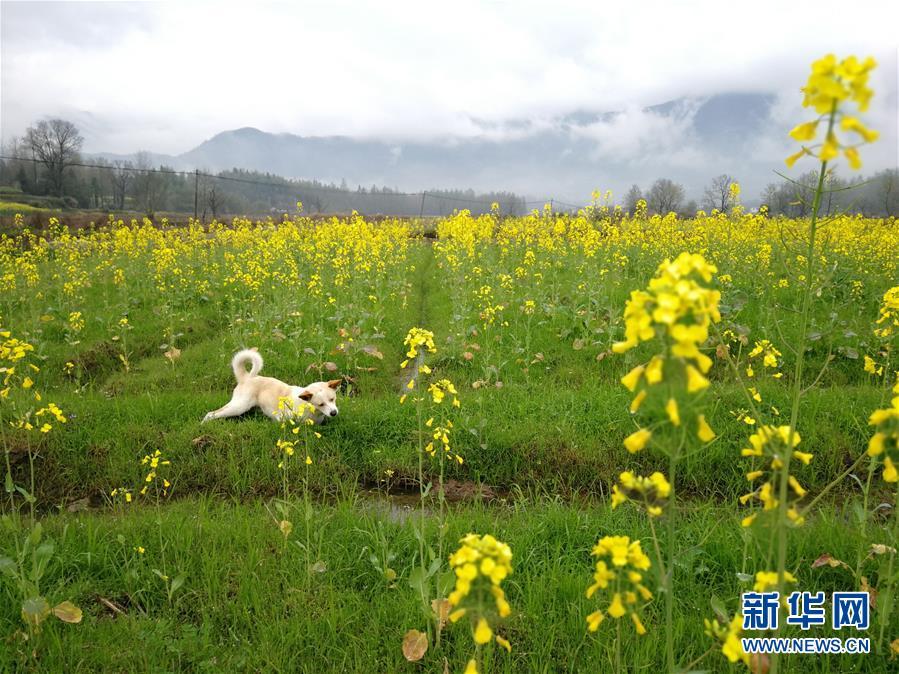 (春季美丽生态)(5)安徽黟县:油菜花开景如画