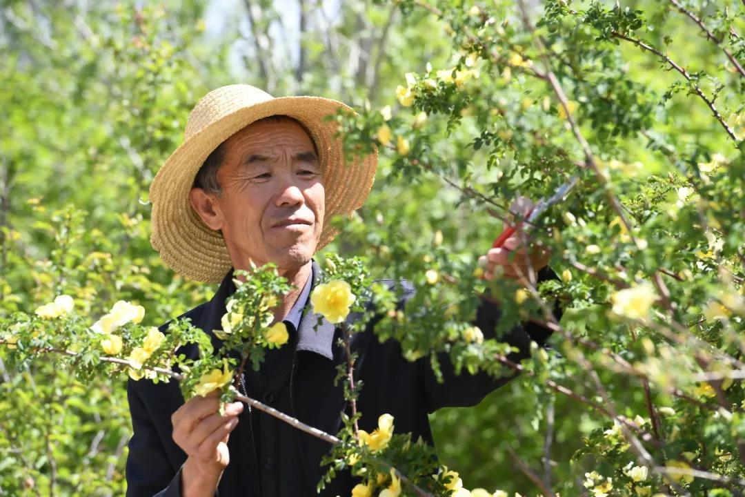 八步沙林场第二代治沙人郭万刚,在仔细的修剪树枝