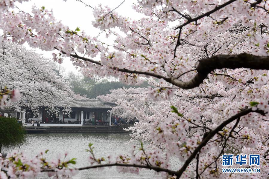 #(新华视界)(2)江苏无锡:赏樱正当时