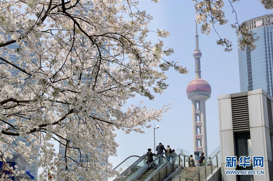 (环境)(1)上海陆家嘴:樱花烂漫春光好