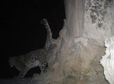甘肃阿克塞地区拍摄到罕见雪豹完整夜栖行为