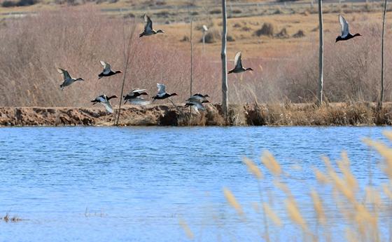 酒泉肃北:湿地风光好 百鸟来栖息
