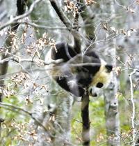 两天偶遇 4只野生大熊猫 白水江自然保护区工作人员:实属罕见
