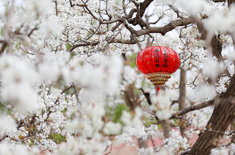 【飞阅甘肃】千树万树梨花开 万亩梨园春又来