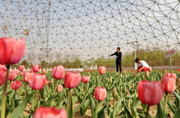 河北肃宁:特色种植助农增收