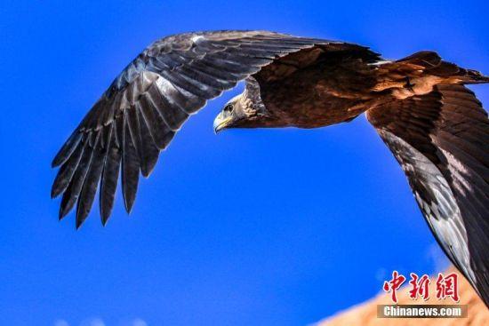 图为国家一级保护动物金雕翱翔在空中。 郎文瑞 摄