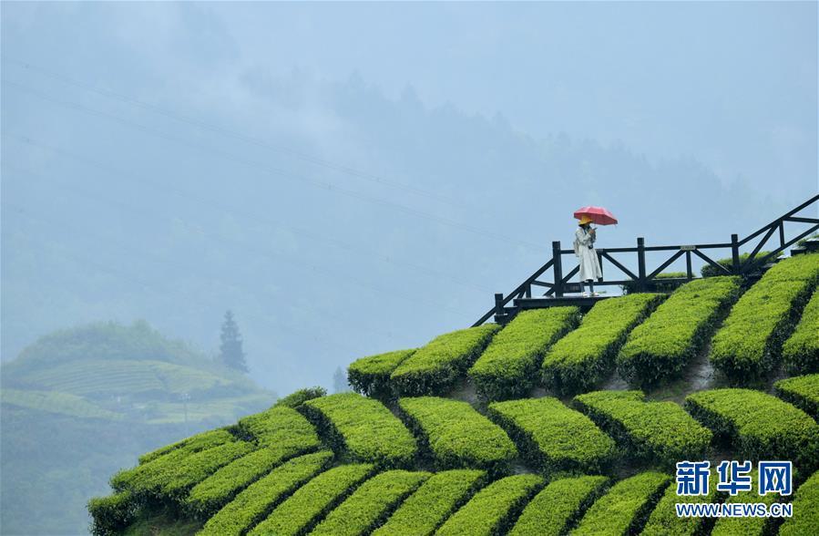 #(社会)(2)雨中漫步春茶园
