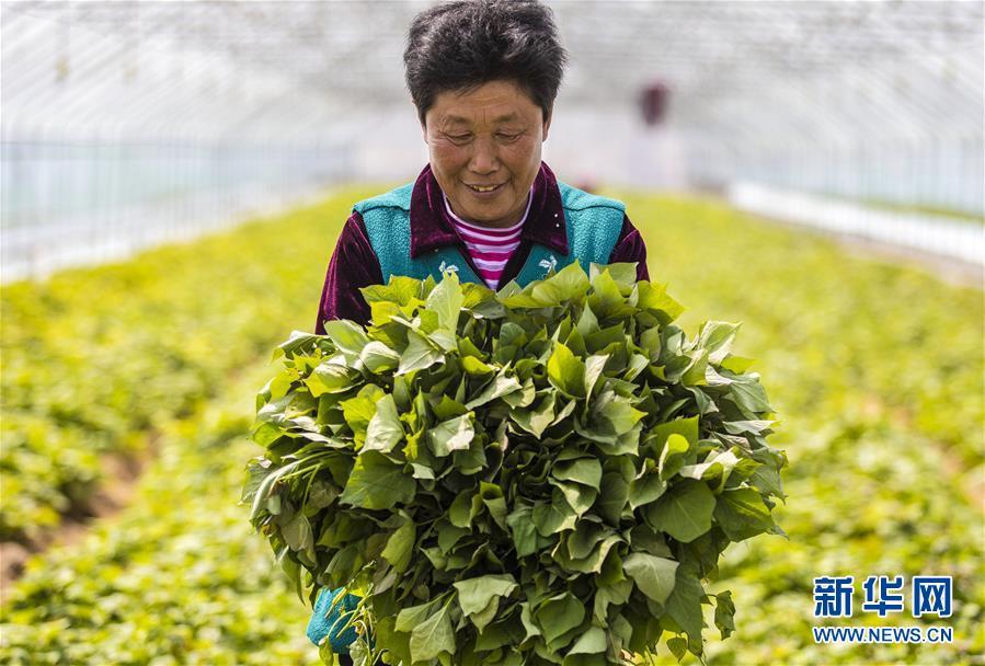 (经济)(2)河北武邑:薯秧育苗富农家