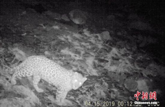 兰州市境内首次发现金钱豹 花纹清晰可见