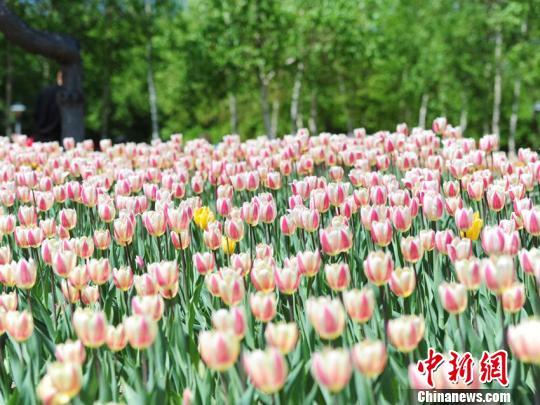 今年长春公园内郁金香种植数量大幅增加,新栽植面积12000余平方米,共计80多个品种。 刘栋 摄