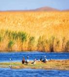 敦煌阳关自然保护区过境和栖息候鸟数量破记录