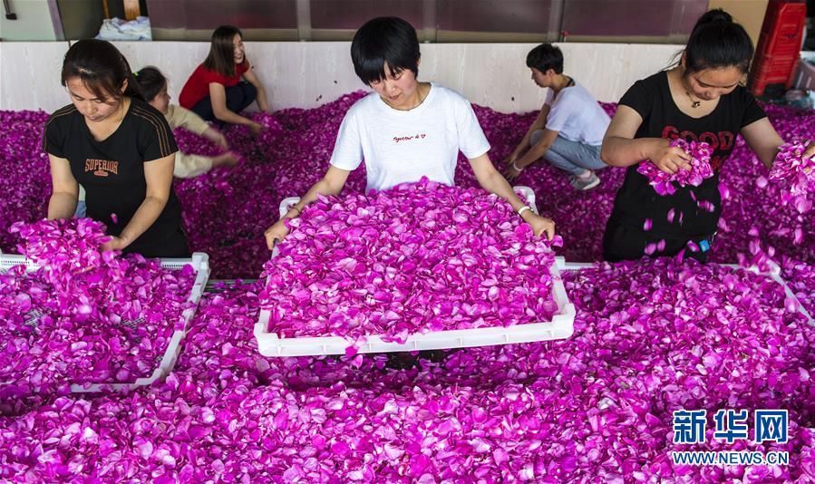 (经济)(1)河北枣强:玫瑰花开致富路